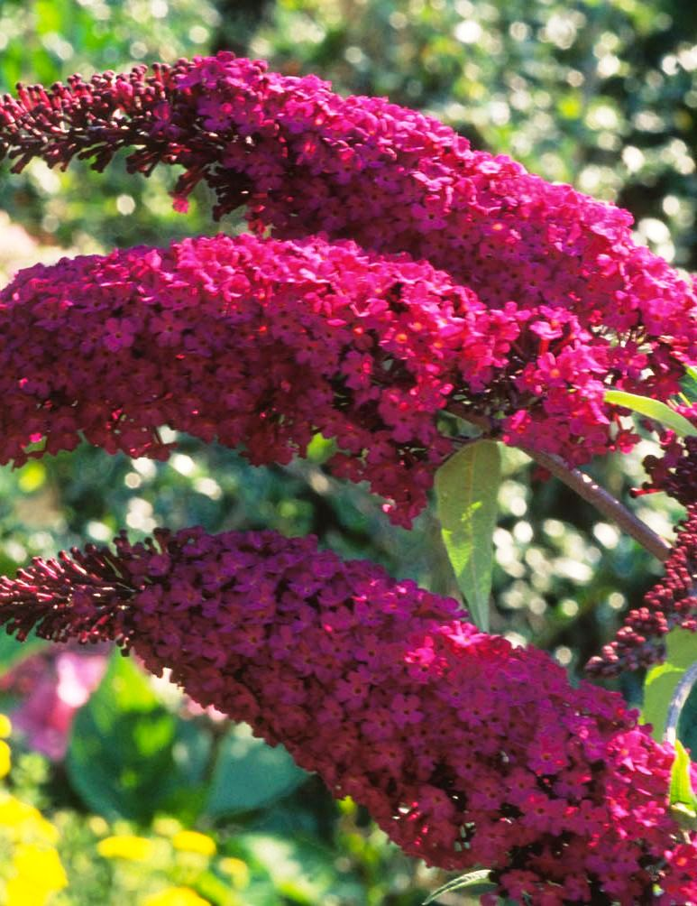 buddleia-davidii-royal-red