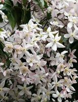 clematis-armandii-apple-blossom