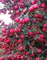cotoneaster-microphyllus-cohleatus
