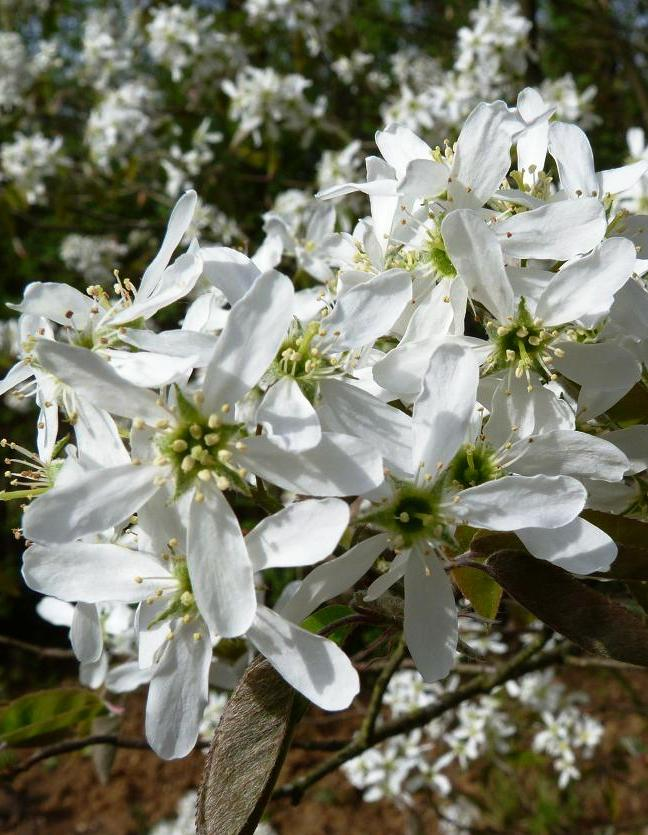 amelanchier-canadensis