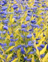 caryopteris-clandonensis-worcester-gold