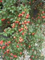 cotoneaster-dammeri-coral-beauty