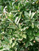 euonymus-japonicus