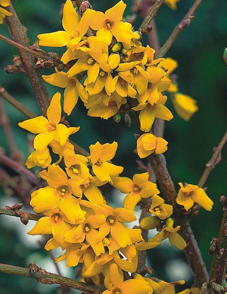 forsythia-intermedia-goldzauber
