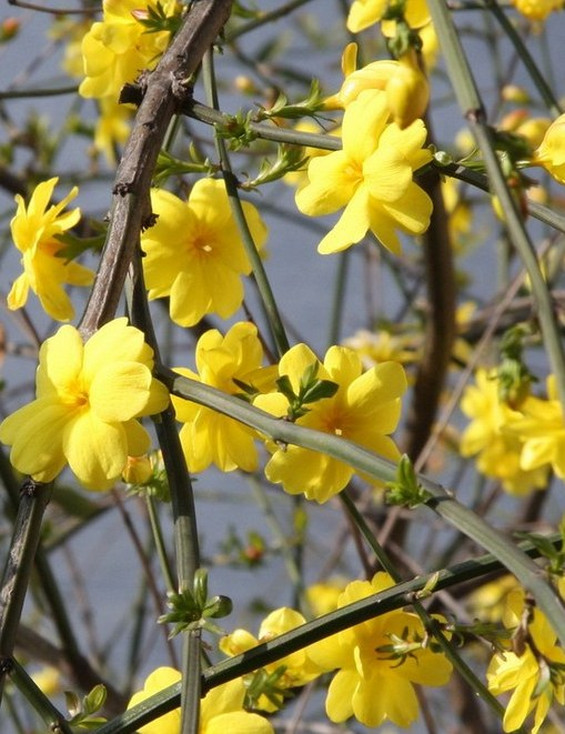 jasminum-nudiflorum