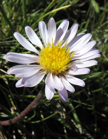 aster-andersonii