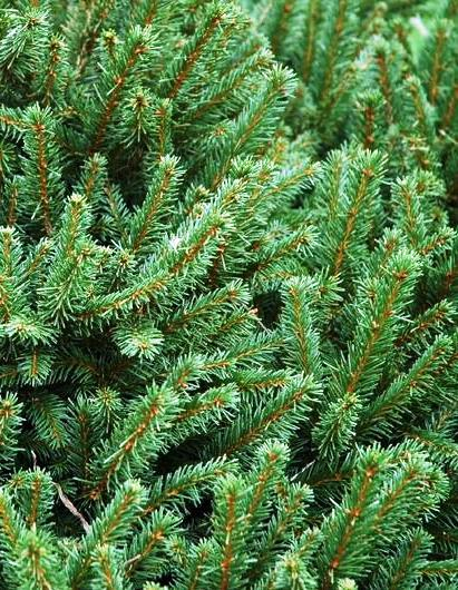picea-abies
