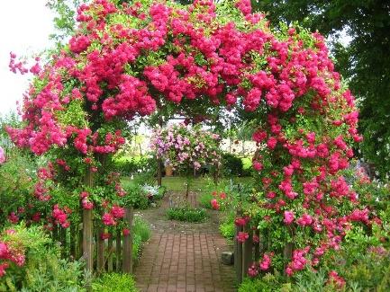 Как выращивать вьющуюся розу